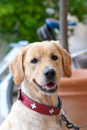 Neben dem obligatorischen Fressnapf und dem Hundekörbchen ist gerade die frühzeitige und richtige Wahl von Hundeleine und Hundehalsband wichtig. Viele Hundebesitzer sind leider der Meinung, dass der kleine Welpe sich […]