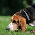 An sich ist das Jagdverhalten bei Hunden, völlig normal. Immerhin blickt ein Hund auf eine 150 000 jährige Geschichte und das heißt schon was. Trotzdem unterscheidet man zwischen dem Wolf […]