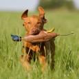 Viele Hunde haben Spaß am Apportieren, besonders Jagdhunden liegt die Lust am Apportieren im Blut. Aber auch andere Hunde können Apportieren leicht lernen: Wichtig ist, dass der Hund den Gegenstand, […]