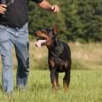 So genannte Schutzhunde sind Haushunde aller Rassen, die eine spezielle Schutzhundeausbildung durchlaufen und im Rahmen spezieller Prüfungen erfolgreich abgeschlossen haben. Mit der Ausbildung zum Schutzhund sollte immer schon in jungen […]