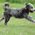 Bilden sich kahle Stellen im Fell des Hundes, so ist unbedingt der Ursache auf den Grund zugehen. Sehr häufig sind hierfür Pilze, wie etwa Fußpilz oder der Hundehautpilz Mikrosporum canis […]