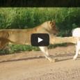 Löwe vs Pitbull – Der Hund hat Glück, dass es ein Babylöwe ist 😉