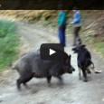 Wildschwein vs Schäferhund – Wer gewinnt?