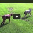 Ein Hund DENKT, dass er einem Wolf gegenüber steht. Falsch gedacht…