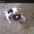 Ein Hund vergewaltigt ein armes Hausschwein