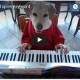 Golden Retriever zeigt sein Können am Keyboard