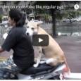 Ein Hund fährt todesmutig ohne Helm Motorrad. Hoffentlich bauen die beiden keinen Unfall…