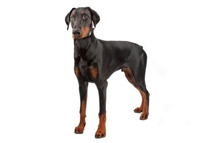 Häufig als aggressive Hunderasse verschrien: der Dobermann.