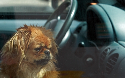 Vorsicht an heißen Tagen: auf keinen Fall den Hund allein im Auto zurücklassen.