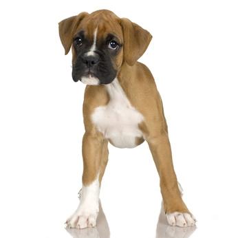 Der Boxer gilt als Wachhund unter den Hunderassen von a-z