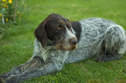 Deutsch Drahthaar - typische Jagthunde, dennoch auch Familienhunde.
