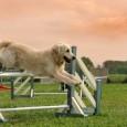 Rehahunde sind Hunde, die Menschen mit Handicap dabei helfen, den Alltag zu meistern. Die Aufgabengebiete des Rehahundes sind je nach Handicap des Hundebesitzers recht unterschiedlich. Spezielle Fähigkeiten einzelner Hunderassen spielen […]