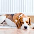 Hunde haben in der Regel ein großes Schlafbedürfnis, sie schlafen dabei zwar nicht tief und fest sondern dösen, die Ohren gespitzt, meist nur vor sich hin. Sie verbringen dabei bis […]
