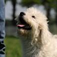 Der Goldendoodle ist ein Hybridhund, welcher aus der Kreuzung zwischen Golden Retriever und Pudel hervorgeht und als eigenständige Rasse noch nicht anerkannt wurde. So ist auch die Fellfarbe nicht festgelegt […]