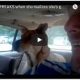 Hund dreht durch, als er bemerkt, dass sie zum Tierarzt fahren.