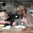 Haben Sie sowas schon mal gesehen? Zwei Hunde dinieren am Tisch mit Messer und Gabel.