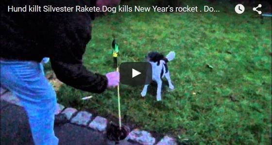 Hund killt Silvesterrakete und kommt mit dem Leben davon. https://www.hundeportal.de/videos/hund-killt-silvesterrakete/