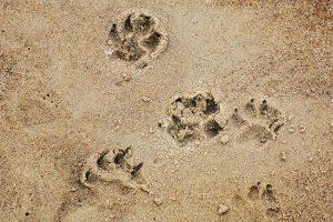 Fussspuren eines Hundes im Sand