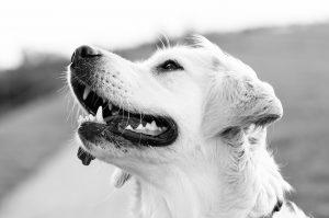 Treues Hundegesicht